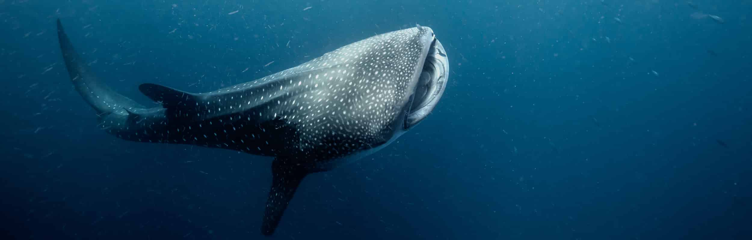 UTILA DIVE CENTRE GOECO CONSERVATION WHALESHARK SCUBA DIVING PROFESSIONAL TRAINING